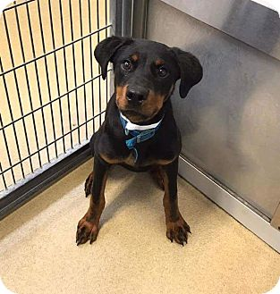 Rottweiler Mix Puppy for adoption in benson, North Carolina - Leila