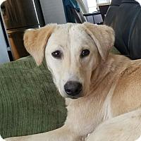 Adopt A Pet :: Belladonna - Frederick, MD