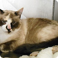 Siamese Cat for adoption in Redding, California - Smokey