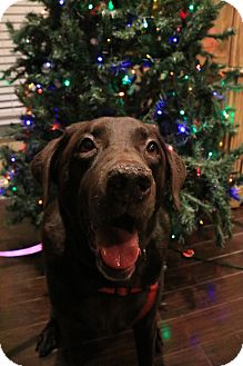 Labrador Retriever Mix Dog for adoption in Charleston, South Carolina - Lulu