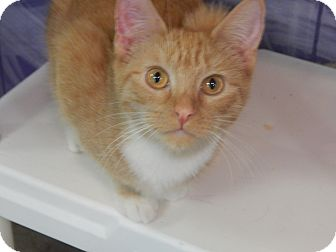 Domestic Shorthair Kitten for adoption in Holden, Missouri - Butterscotch