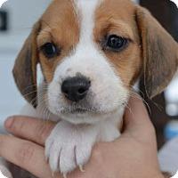 Adopt A Pet :: Zuzu - Danbury, CT