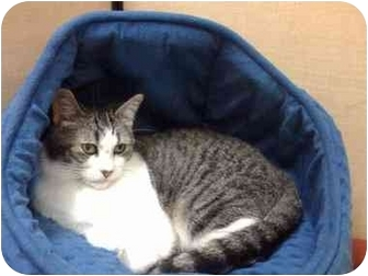 Domestic Shorthair Cat for adoption in Austin, Texas - Sarah