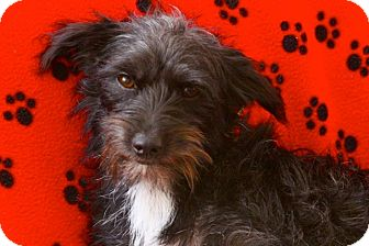 Terrier (Unknown Type, Small)/Chihuahua Mix Dog for adoption in san diego, California - Roxie