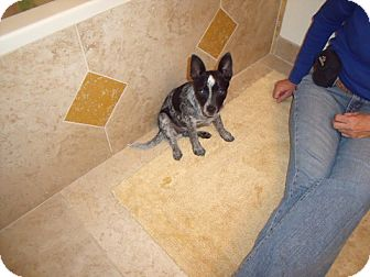 rat terrier australian cattle dog mix choo adoption pending adopted puppy phoenix az 4452