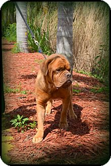 Dogue de Bordeaux Mix Dog for adoption in Miami, Florida - Rocket