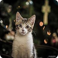 Adopt A Pet :: Dizzy - St. Louis, MO