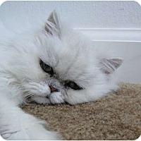 Adopt A Pet :: Joy - Beverly Hills, CA