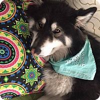 Adopt A Pet :: PJ - San Diego, CA