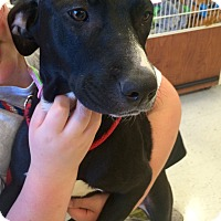 Adopt A Pet :: Pitty in CT - Manchester, CT