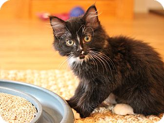 Domestic Longhair Kitten for adoption in Carlisle, Pennsylvania - Will