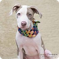 Adopt A Pet :: Josie - Frisco, TX