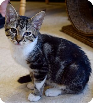 Domestic Shorthair Kitten for adoption in Island Park, New York - Gemini