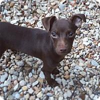 Adopt A Pet :: Dobby - Austin, TX