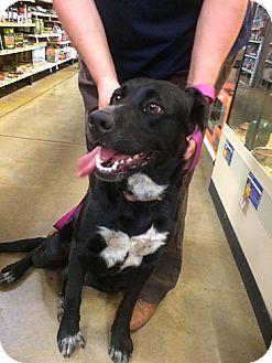 Labrador Retriever Dog for adoption in Midlothian, Virginia - Lady #3