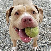 Adopt A Pet :: Honey - Lompoc, CA