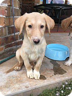 Golden Retriever/Border Collie Mix Dog for adoption in oklahoma city, Oklahoma - Ellie