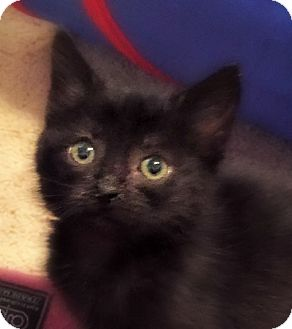 Domestic Shorthair Kitten for adoption in Burlington, North Carolina - STAR