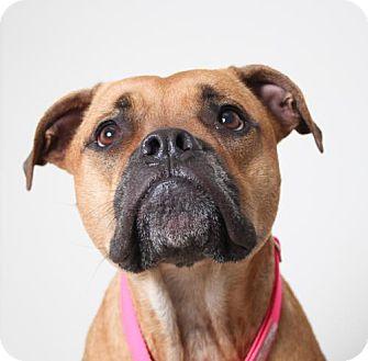 Boxer/Mastiff Mix Dog for adoption in Edina, Minnesota - Daisy D161344