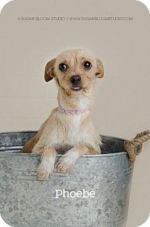 Norfolk Terrier Mix Dog for adoption in Denver, Colorado - Phoebe
