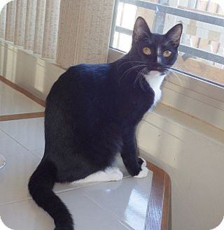Domestic Shorthair Kitten for adoption in Quail Valley, California - K.B.