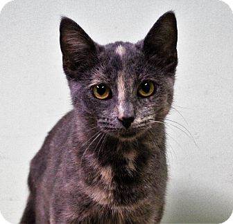 Domestic Shorthair Cat for adoption in Murphysboro, Illinois - Princess Carolyn