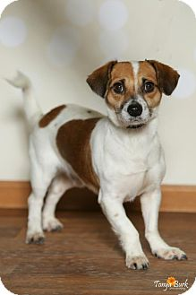 Jack Russell Terrier Mix Dog for adoption in Princeton, Minnesota - Eddie
