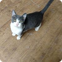 Domestic Shorthair Kitten for adoption in Land O Lakes, Florida - Felix