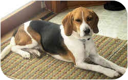 Beagle Dog for adoption in Pittsburgh, Pennsylvania - Corky