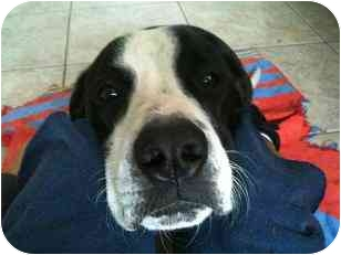 Pit Bull Terrier/Border Collie Mix Dog for adoption in Houston, Texas - Marco