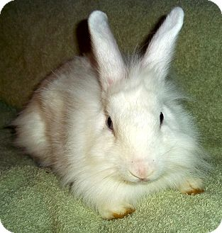 Lionhead Mix for adoption in Santee, California - Mae Mobily
