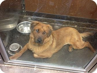 Golden Retriever/Chow Chow Mix Dog for adoption in San Diego, California - Joy URGENT