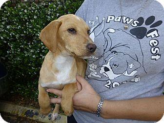 Dachshund Mix Puppy for adoption in Oviedo, Florida - Mikey
