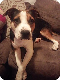 Beagle/American Pit Bull Terrier Mix Puppy for adoption in bridgeport, Connecticut - Gibson