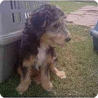 Adopt A Pet :: Daisy - Needville, TX