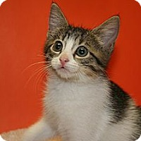 Adopt A Pet :: SOPHIA - SILVER SPRING, MD