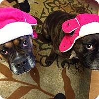 Adopt A Pet :: Snickers - Turnersville, NJ