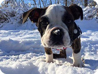 English Bulldog Puppy for adoption in Decatur, Illinois - Willow