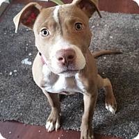 Adopt A Pet :: Athena *PENDING* - Lima, OH