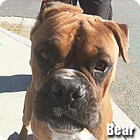 Adopt A Pet :: Bear - Encino, CA