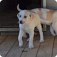 Adopt A Pet :: Missy - Groton, MA