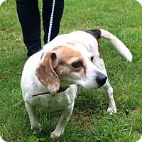 Adopt A Pet :: Daisy - Monroe, CT
