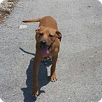Adopt A Pet :: Joker - Lewisburg, TN