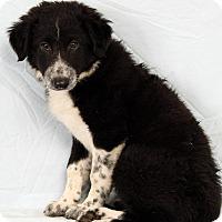 Adopt A Pet :: Rue BC - St. Louis, MO