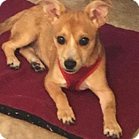 Adopt A Pet :: Joey - S. Pasedena, FL