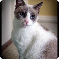 Siamese Cat for adoption in Earl, North Carolina - Gloria