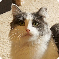 Domestic Mediumhair Cat for adoption in Colorado Springs, Colorado - Junebug
