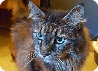 Domestic Longhair Cat for adoption in Salisbury, Massachusetts - Jasmine