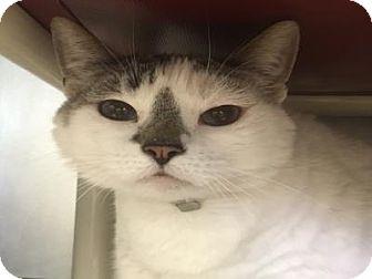 Domestic Mediumhair Cat for adoption in West Palm Beach, Florida - JAYDA