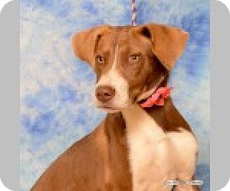 Pointer/Labrador Retriever Mix Dog for adoption in Pittsboro, North Carolina - Lulu